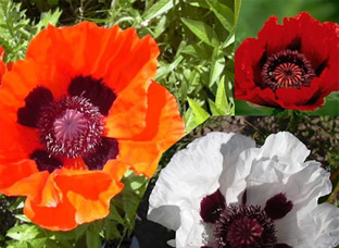 Papaver orientale (Prachtmischung)