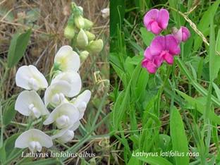 Lathyrus latifolius 'Perlenmischung'