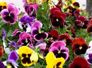 Viola x wittrockiana 'Super Swiss Giant Mix'