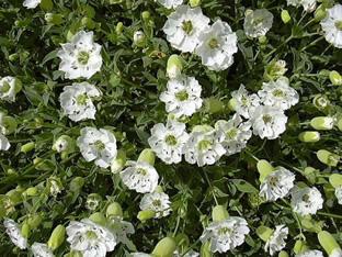 Silene uniflora 'Weisskehlchen' (maritima)