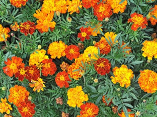Tagetes patula 'Goldie Formula Mixture'