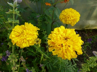 Tagetes erecta 'All Double Lemon'