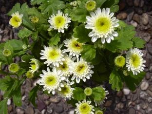 Tanacetum parthenium 'White Stars'