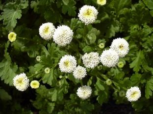 Tanacetum parthenium 'Snowball'