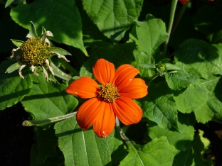 Tithonia rotundifolia 'Torch'