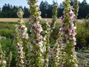 Verbascum chaixii 'Wedding Candles'