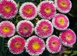 Callistephus chinensis 'Lilliput Size Hi-no-Maru'