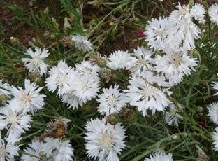 Centaurea cyanus 'White Ball'