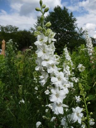 Delphinium belladonna 'Casa Blanca'