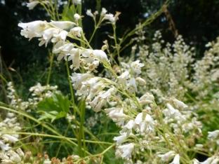 Heuchera sanguinea 'White Cloud'