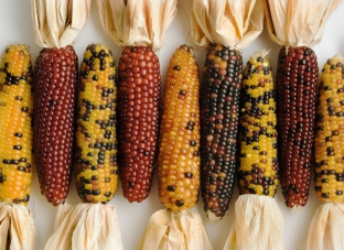 Zea mays 'Indian Berries'