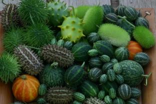 Cucumis 'Deco-Fruits Mix'