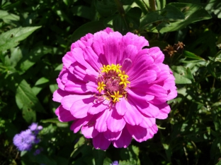 Zinnia elegans 'Dahlia Dream'