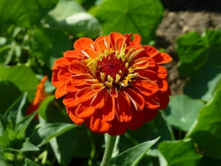 Zinnia elegans 'Orange King'