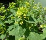 Mohnbrötchenblume, Gold-Braunwurz