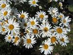 Niedrige Garten-Margerite