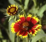 Niedrige Rot-Gelbe Kokardenblume