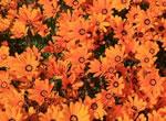 Orangefarbenes Kapkörbchen