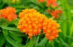 Orangene Seidenpflanze