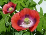 Roter Schlafmohn