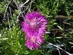 Persische Flockenblume