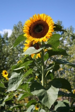 Riesen-Sonnenblume