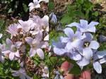 Riesendolden-Glockenblume
