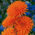 Ringelblume 'Orange Porcupine'