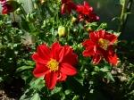 Rote Zwerg-Dahlie