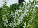 Weißer Wiesen-Salbei