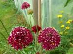 Rote Garten-Skabiose