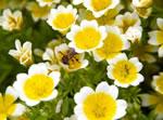 Spiegelei-Blume