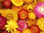 Strohblume (hohe Mischung)