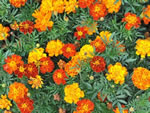 Tagetes 'Bunte Mischung'