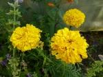 Hohe Gelbe Tagetes
