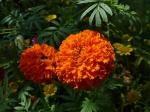 Orangene Hohe Tagetes