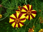 Hohe gestreifte Tagetes