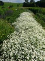 Mutterkraut 'Million Blooms' / Silber-Rainfarn