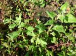 Neuseeländer Spinat