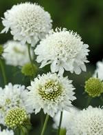 Weiße Garten-Skabiose