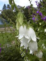 Weiße Kaukasus-Glockenblume