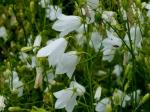 Weiße Rundblättrige Glockenblume