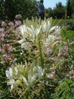 Weiße Spinnenblume