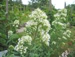 Weiße Spornblume