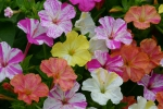Wunderblume (Gefleckte Mischung)