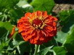 Orangefarbene Zinnie