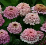 Skabiosenblütige Zinnie